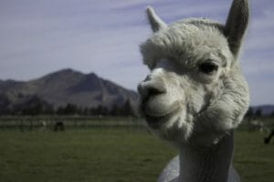 An alpaca on the farm that Whitman visited.